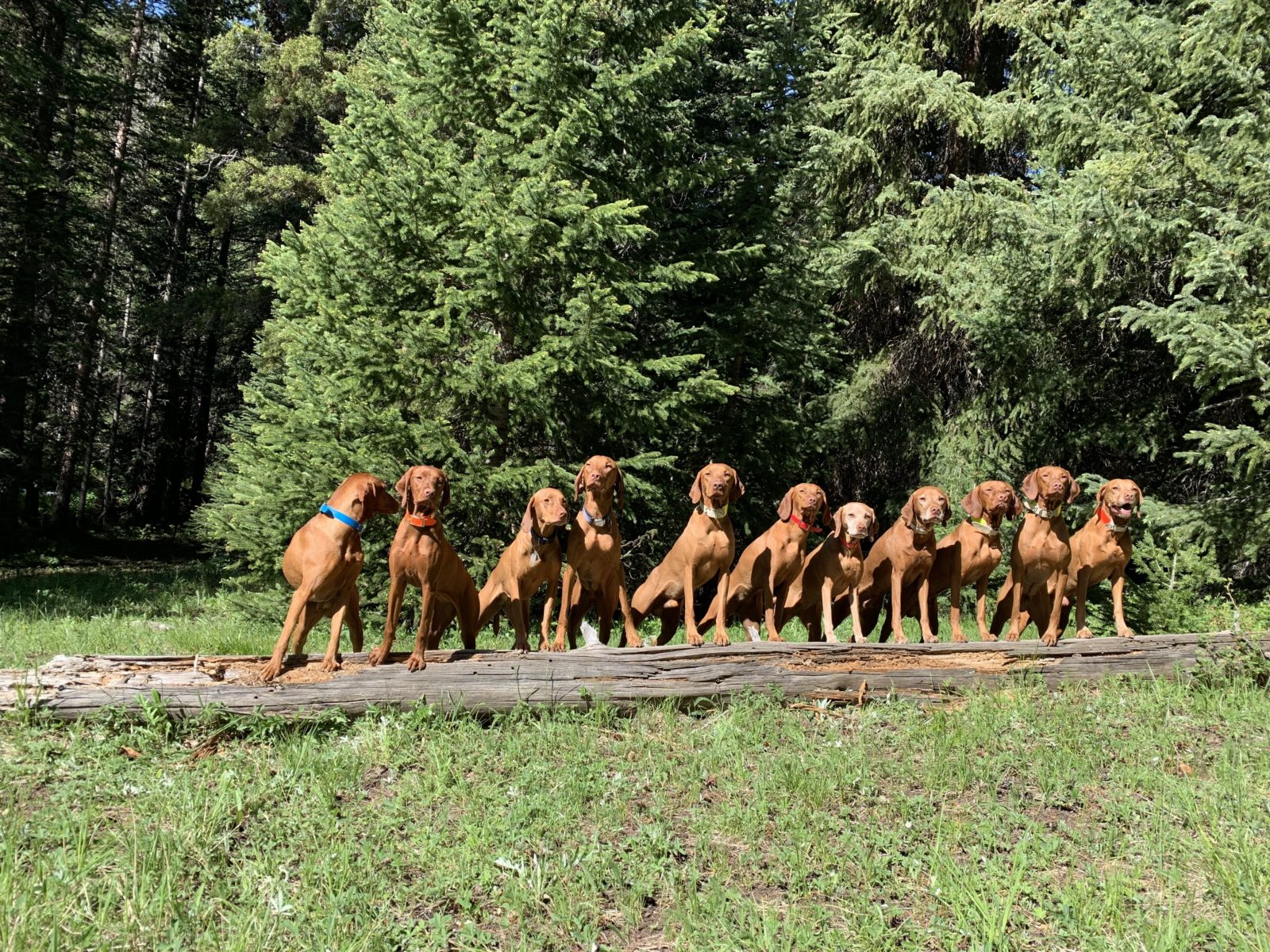 11 Vizslas all lined up!